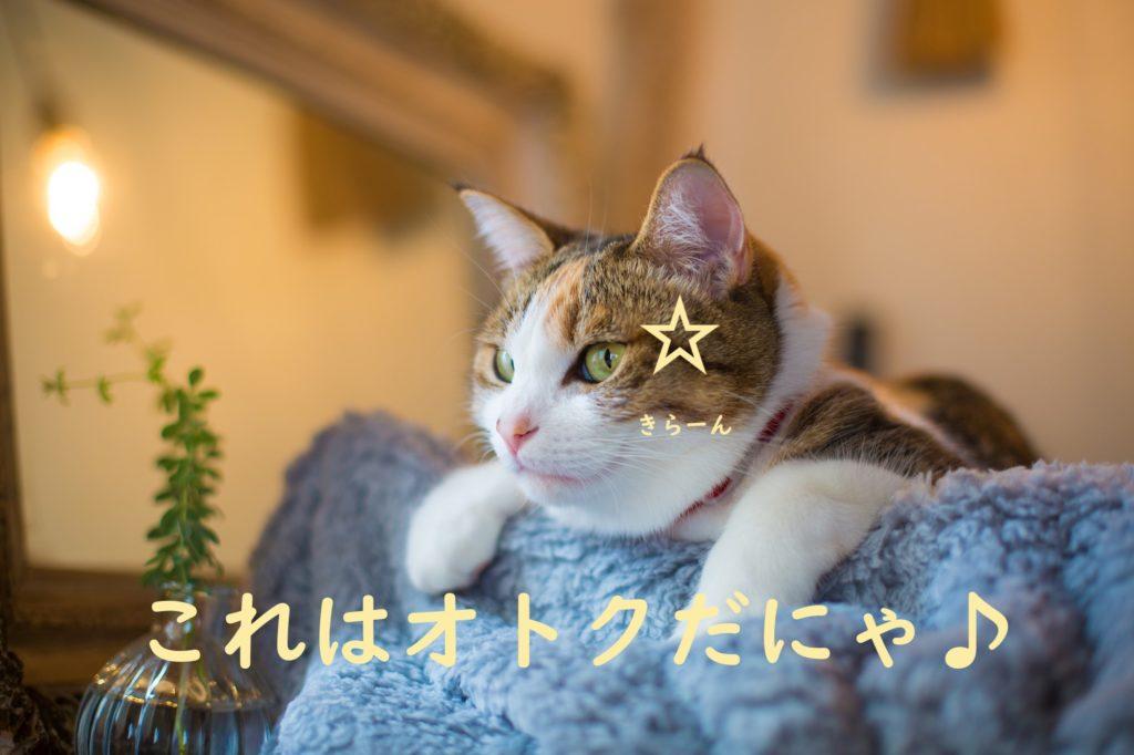 お得な猫 三毛猫