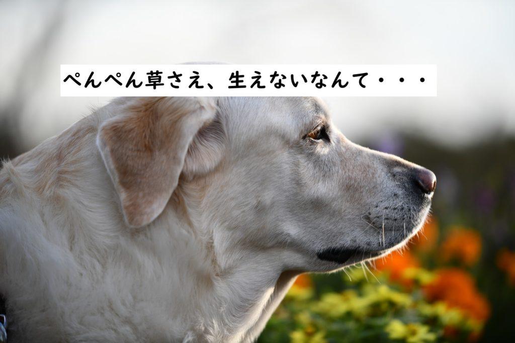 しょんぼりする大型犬 レトリバー