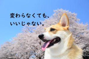 コーギー 桜 犬