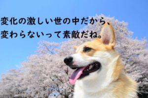犬 桜 コーギー