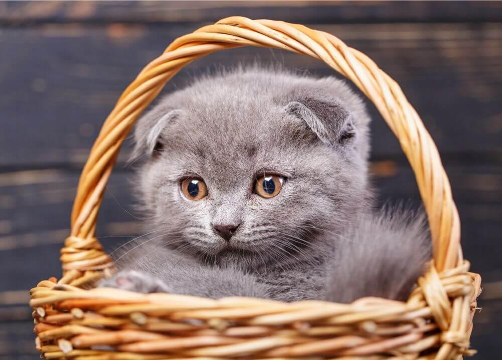 子猫 グレー
