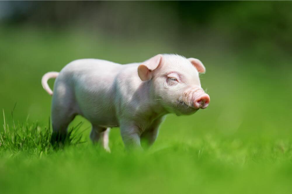 子豚 歩く