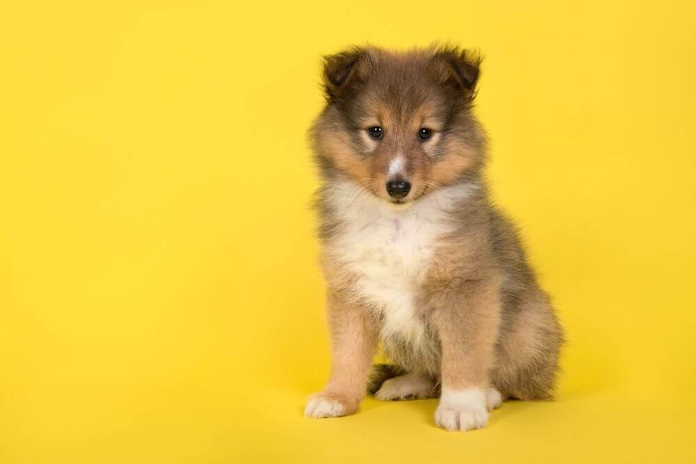 シェルティー コリー 犬 子犬